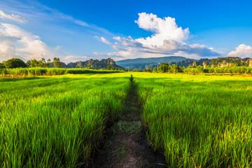 Rice Field View at Phitsanulok, Thailand Fototapete