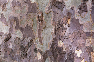 Camouflage background of texture of American Sycamore Tree bark (Platanus occidentalis) Fototapete
