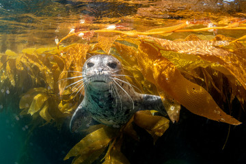 Cute harbor seal playing in the kelp