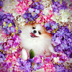 Long haired spitz laying on flowers background