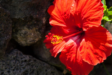 Close-up of Red Hibiscus Against Black Rock Wall