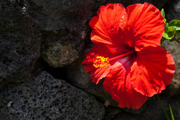 Off-center Close-up of Red Hibiscus Against Black Rock Wall