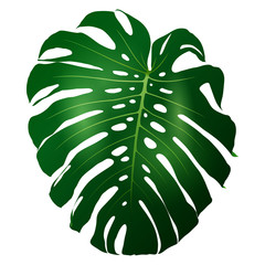 Beautiful big green leaf monstera plant isolated on white background, vector illustration