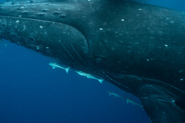 Close-up of Humpback Whale Cow in Tonga