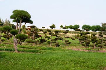 trimmed pine trees in rows in landscape garden
