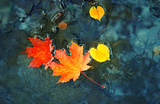 bright maple leaves in a puddle. Beautiful autumn atmosphere image. vivid autumn maple leaves on water backdrop. fall season background concept. shallow depth. close up. soft selective focus