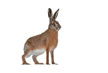 Side view of european brown hare, lepus europaeus, isolated on white background. Cut out single...