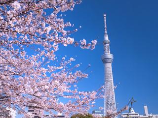 満開の桜とスカイツリー