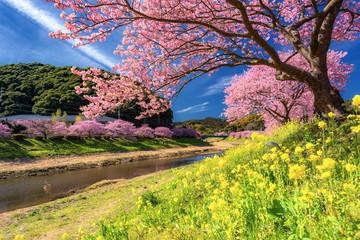 Foto auf Acrylglas Gelb 静岡県・南伊豆の河津桜と菜の花 1