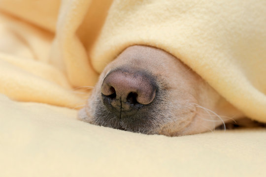 Pet warms under a yellow blanket in cold winter weather.Dog nose close up. Autumn and winter concept.