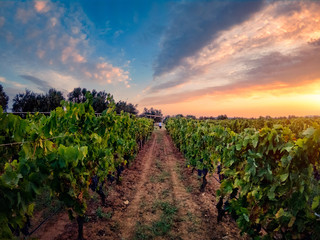 Vineyard rows perspective at sunset. Colorful sunset on a vineyard, rows perspective.