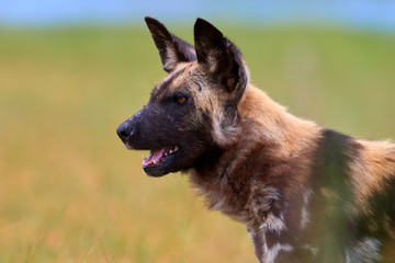 Portrait of African Wild Dog, Lycaon pictus, african endangered predator against green savanna. Side view. Attentioned alpha male, ears erected, green Moremi, Okavango delta, Botswana.