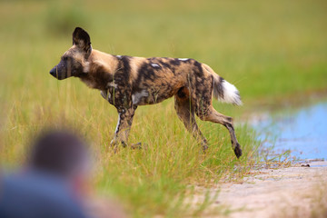 African Wild Dog, Lycaon pictus, african painted dog, close up running   in green savanna, side view over blurred silhouette of photographer in foreground. Moremi game reserve, Botswana.