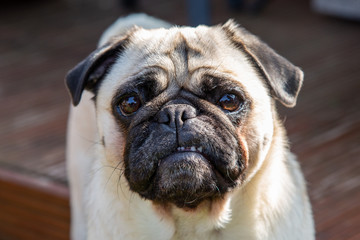 Cute Pug poses for the camera