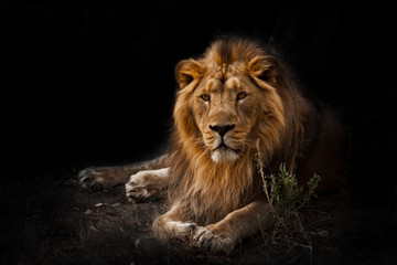 beast is a powerful maned male lion. Impressively lies and rests at night, black background, consecrated by light.