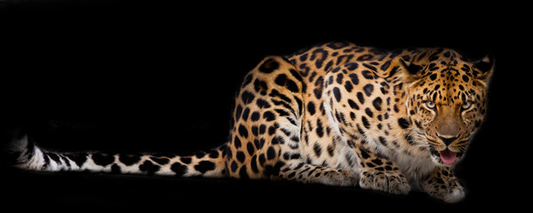 Fototapeten Leopard Leopard lies isolated on a black background.