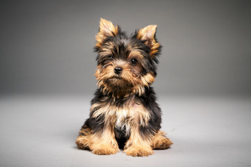 Yorkshire Terrier puppies Wall mural