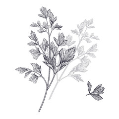 Illustration of garden fragrant herbs. Parsley.