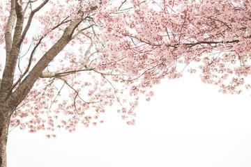 Foto op Canvas Kersenbloesem 満開の桜
