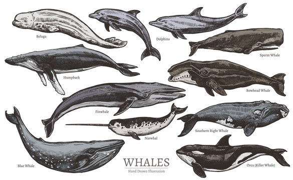 Whales color sketch set. Big collection of different hand drawn whales and dolphins in engraving style. Zoological illustration of ocean mammals