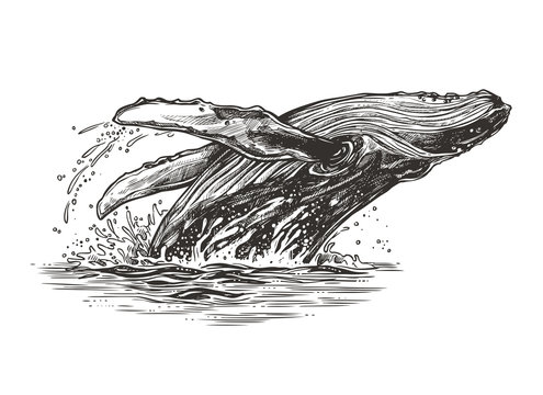 Jumping in the ocean humpback whale. Beautiful vector sketch illustration