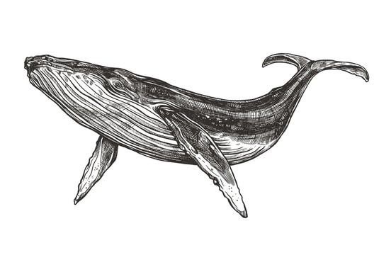 Vector hand drawn illustration of  humpback whale. Sketch detailed engraving style