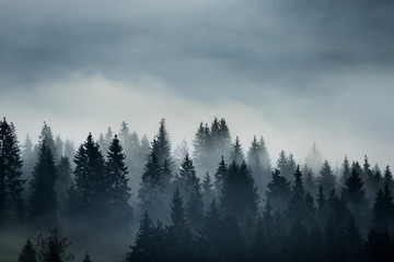 coniferous trees in the fog in the highlands. Vintage style photo.