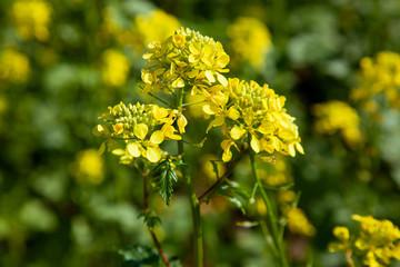 Eine blühende Senfpflanze im August