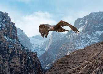 Wall Murals Eagle Golden Eagle (Aquila chrysaetos) in Flight Over Snow-Dusted Mountains...Some Native Peoples Believe the Eagle can Take Your Dreams to Heaven
