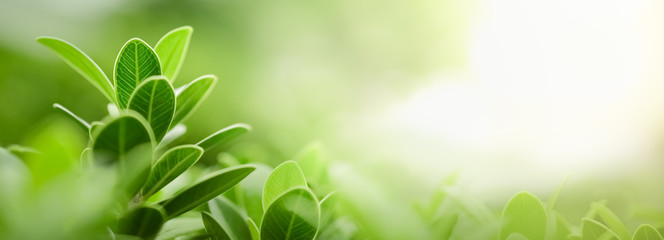 Close up of nature view green leaf on blurred greenery background under sunlight with bokeh and copy space using as background natural plants landscape, ecology wallpaper or cover concept.