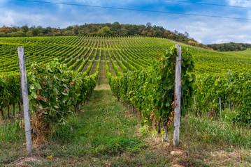 Rows of vineyard on hill before harvesting in Tokaj area of Slovakia. Autumn landscape under blue sky
