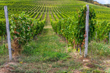 Rows of vineyard on hill before harvesting in Tokaj area of Slovakia