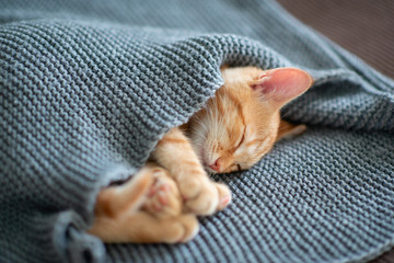 In de dag Kat Cute red kitten sleeps on the back on sofa covered with a gray knitted blanket. Adorable little pet. Cute child animal