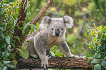 Wall Murals Koala Koala on eucalyptus tree outdoor.