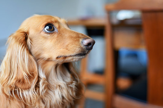 Close up of a long haired Dachshund sitting on the floor