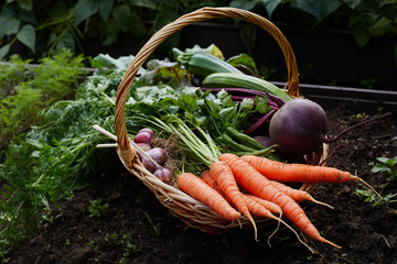 Basket with ripe organic vegetables carrot beetroot and garlic