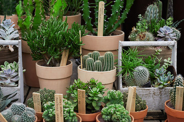 Variety of cactus and succulent in terracotta pots