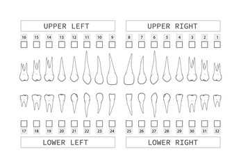 Teeth with roots numbering chart for adult teeth. Dentist numbering system. Vector.