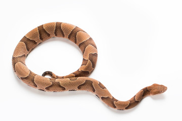 Copperhead Snake on a White Background Wall mural