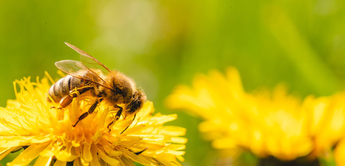 Fototapeten Bienen Honey bee covered with yellow pollen collecting nectar from dandelion flower. Important for environment ecology sustainability.