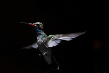 In flight hummingbird portrait with black background