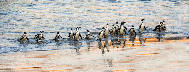 Fond de hotte en verre imprimé Pingouin African penguins walk out of the ocean to the sandy beach. African penguin also known as the jackass penguin, black-footed penguin. Scientific name: Spheniscus demersus. Boulders colony. South Africa