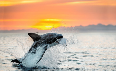 jumping Great White Shark. Red sky of sunrise. Great White Shark breaching in attack. Scientific name: Carcharodon carcharias. South Africa. Wall mural