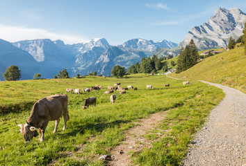cows grazing on fresh alpine meadow in Glarus Alps, Switzerland