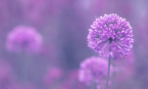 Blüte des Zierlauch ( Allium ) - Platz für Text