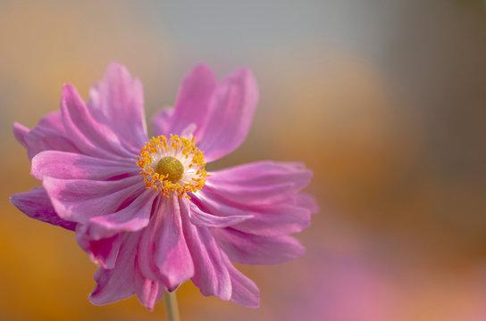 Blumen in Pink - Herbst Anemone - makro