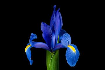 Single blue iris isolated on black background
