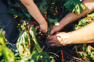 Farmer hands holding a bunch of freshly harvested beetroots and a garden spade