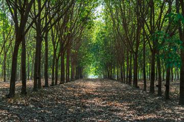 Fototapeta Row of rubber tree park