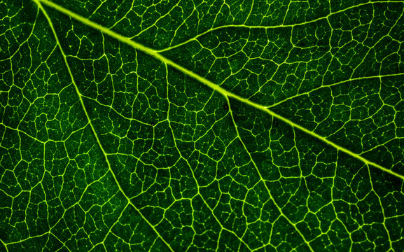 Background image of a leaf of a tree close up. A green leaf of a tree is a big magnification. Macro shooting.